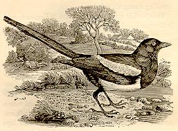 Magpie (3rd)
